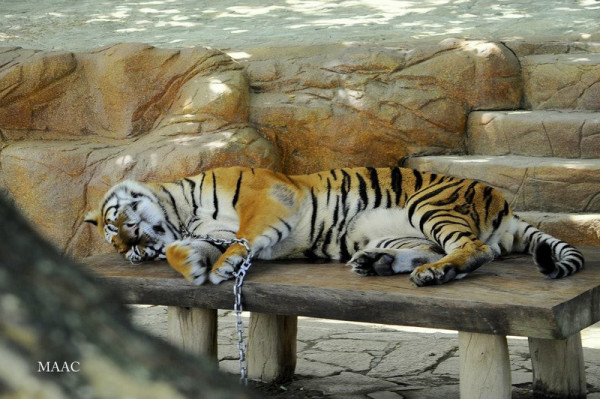 Baluarte-Tiger