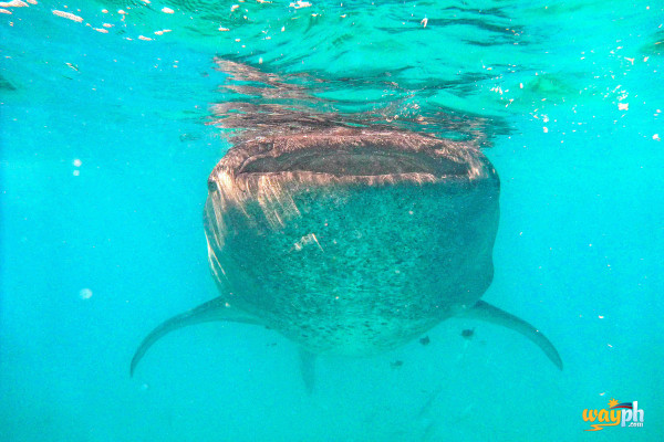 Whale Shark at oslob