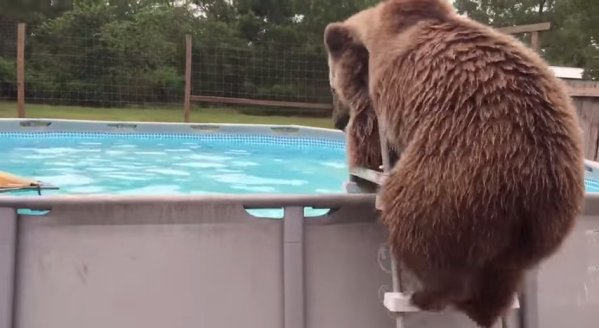 Bear loves swimming in the pool.
