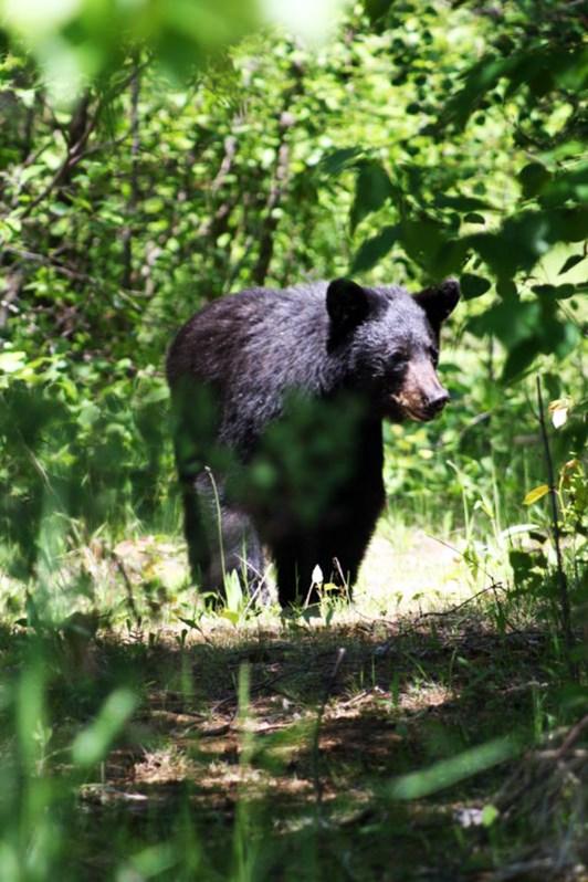 Black Bear visitor