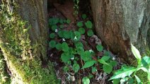 Sweet White Violet (Viola blanda) Tree Cover