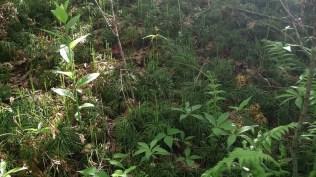 Running pine (Lycopodium digitatum)
