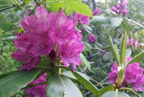 Catawba rhododendron (Rhododendron catawbiense)