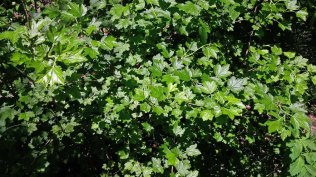 Gooseberry (Ribes rotundifolium)