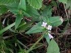 Summer Bluets (Houstonia purpurea)