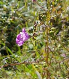 Purple Gerardia (Agalinis purpurea )