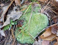 a Pincushion moss (Leucobryum sp.)