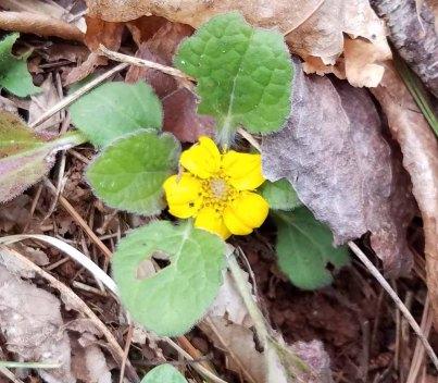 Chrysogonum virginianum (Green-and-Gold)