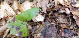 Hexastylis arifolia (Little Brown Jugs)