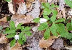 Anemone quinquefolia (Wood Anemone)