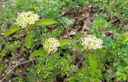Possibly Chokeberry (Aronia melanocarpa)