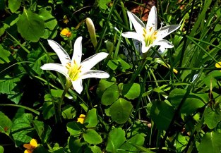 Atamasco (Zephyranthes atamasca)