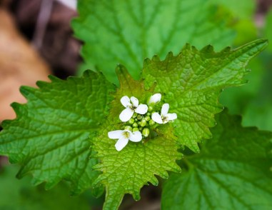 Garlic Mustard (Alliaria percolata)