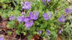 Blue Phacelia (Phacelia maculata)