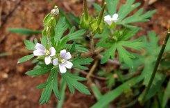 Carolina Cranesbill (Geranium carolinianum)