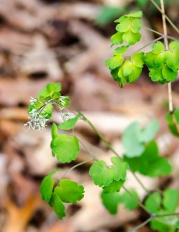Thalictrum dioicum (Early Meadow Rue)