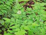 Dolls Eyes; White Baneberry (Actaea pachypoda)