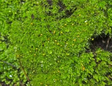 Apple Moss (Bartramia pomiformis)