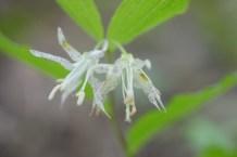 Spotted or Nodding Mandarin (Prosartes maculata)