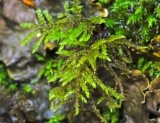 Possibly Square Goose Neck Moss (Rhytidiadelphus squarrosus)