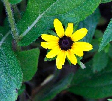 Black-eyed Susan (Rudbeckia hirta)2