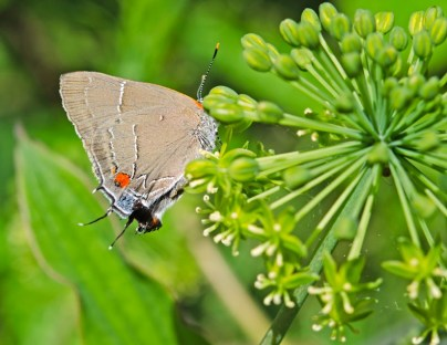 White M Hairstreak (Parrhasius m-album) on Carrion Flower (Smilax herbacea)