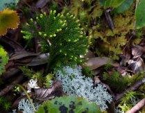 Pennsylvania Clubmoss (Lycopodium hickeyi)