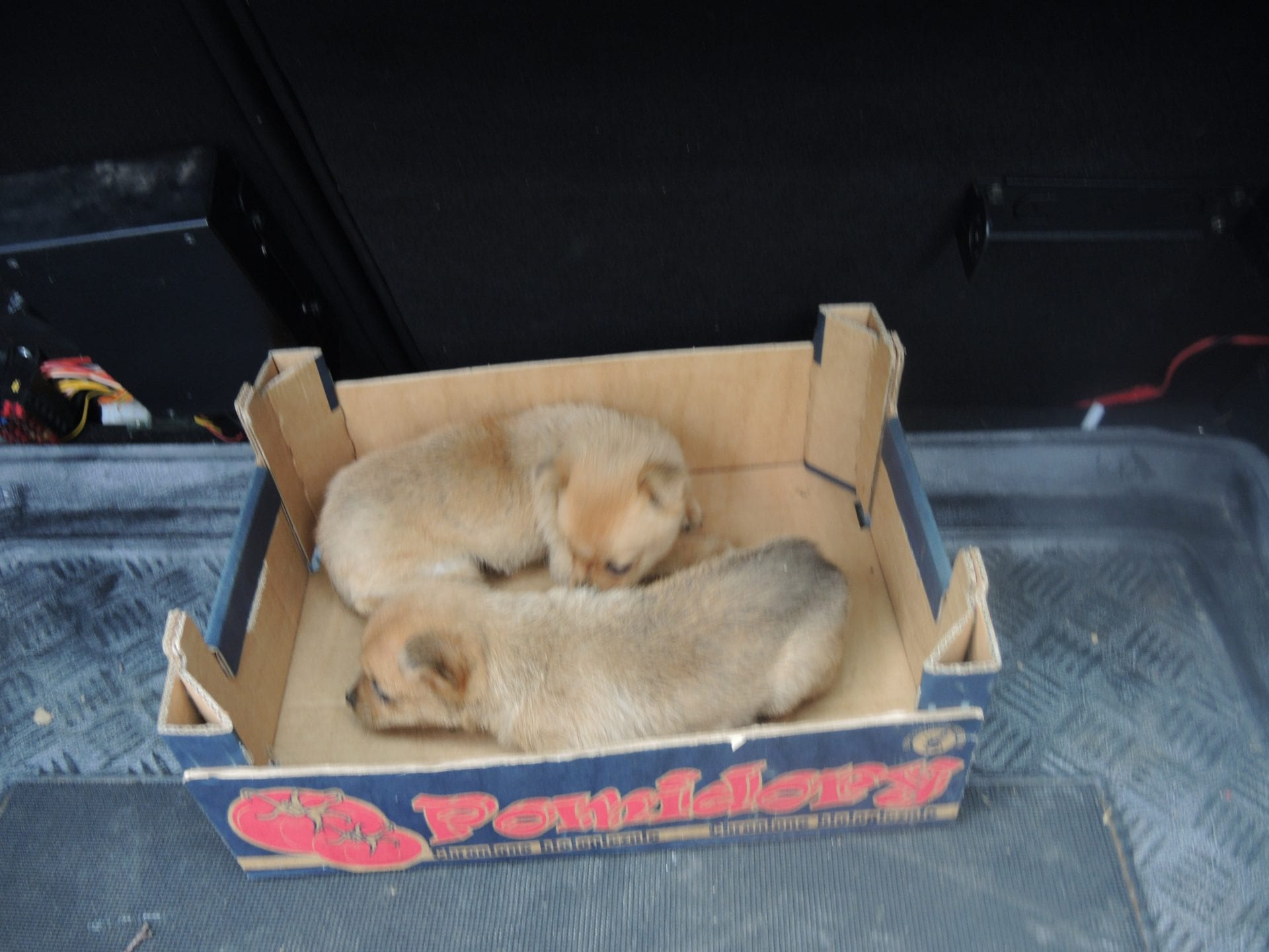 Poszukujemy właściciela szczeniaków