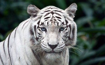 Tiger white adult
