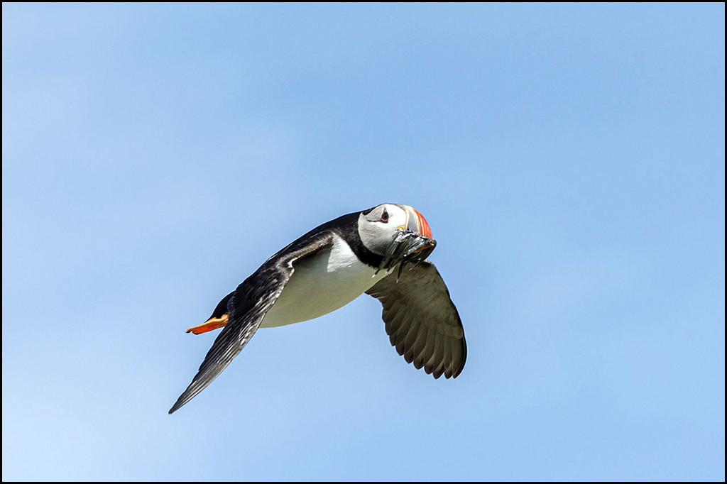 Atlantic puffin with sand eels