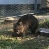 関西の動物園でタスマニア島にいるウォンバットを見ることができますよ♪