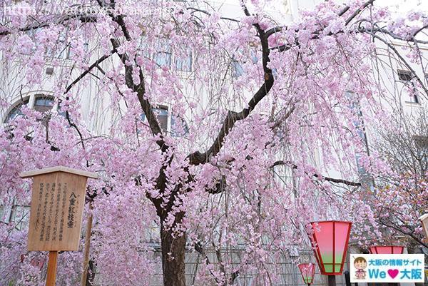 「2019大阪造幣局の桜 見頃や満開はいつ?」の画像検索結果