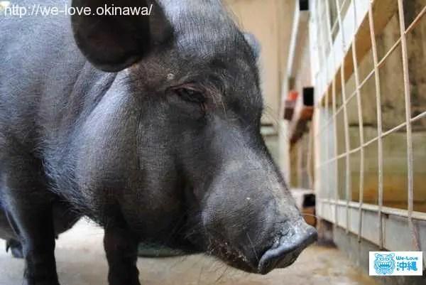 アグー(アグー)豚