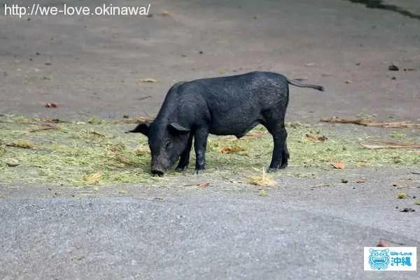 子供アグー(アグー)豚