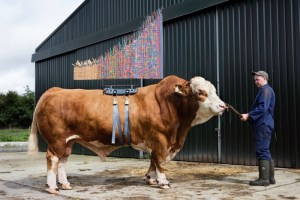 Tomorrow's tailor-made cows