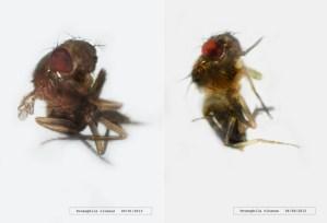 The epic task of breeding fruit flies for life on Titan