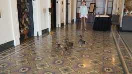 Peabody memphis ducks