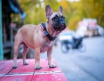 French bulldog, Wilbur Beast elected as Mayor of Kentucky town