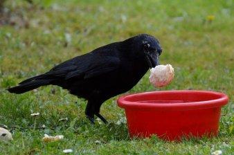crow-741168_960_720