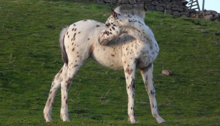 Spotty foal, Rookhope