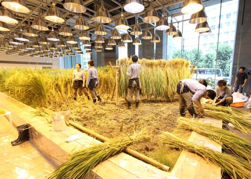 Pasona Farm - Rice Paddy Harvest