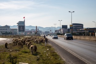 A shephard grazes his sheep along the main highway into Tirana.