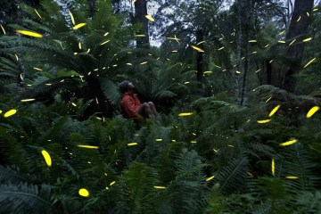 Fireflies Fern
