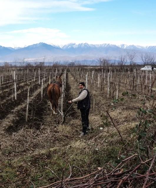Contadino che ara le sue vigne con aratro e cavallo nei pressi di Signaghi