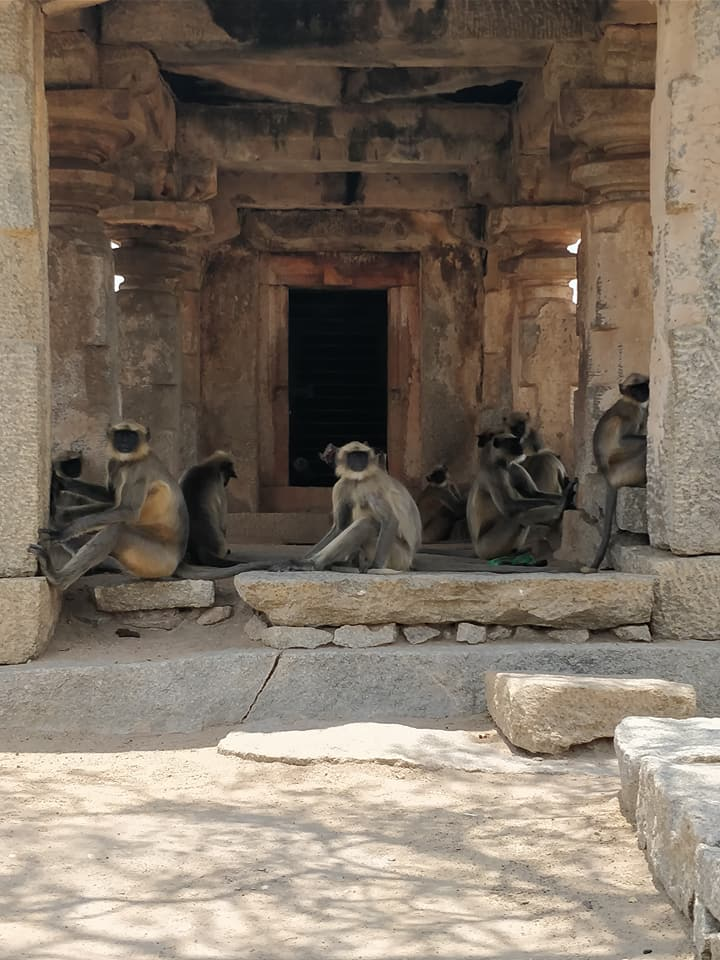 scimmie in un tempio di Hampi
