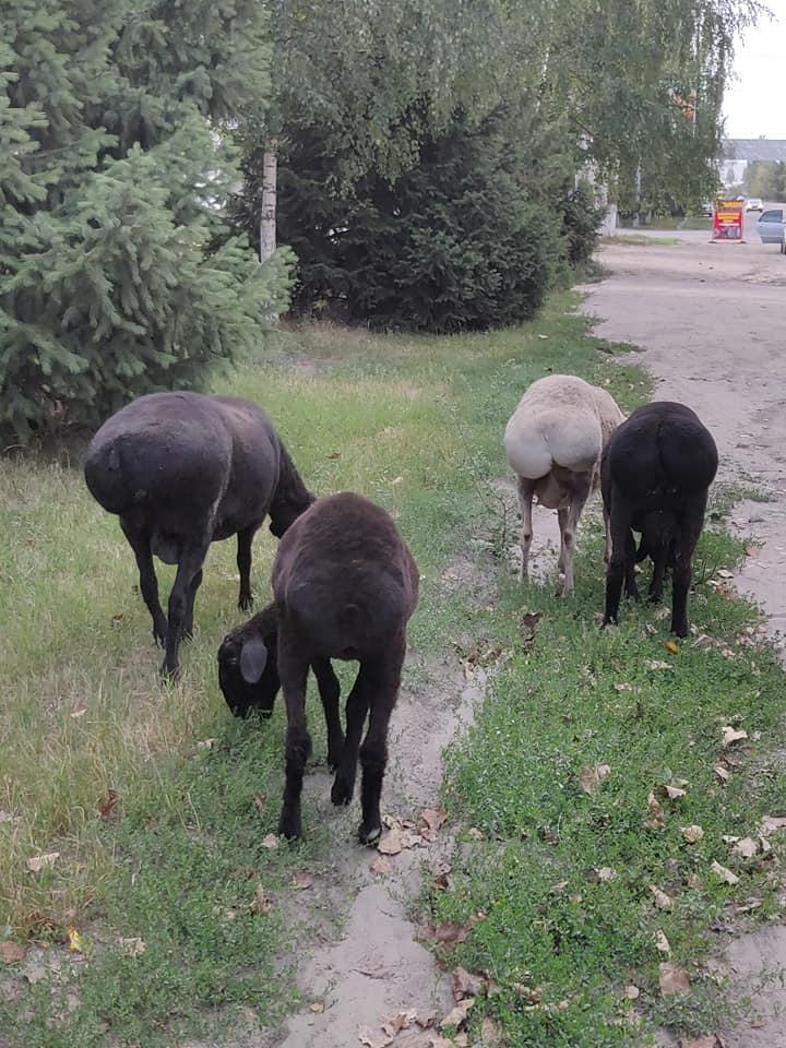"""Le capre dal """"sedere"""" grosso tipiche del Kirghizistan e dell'asia centrale"""