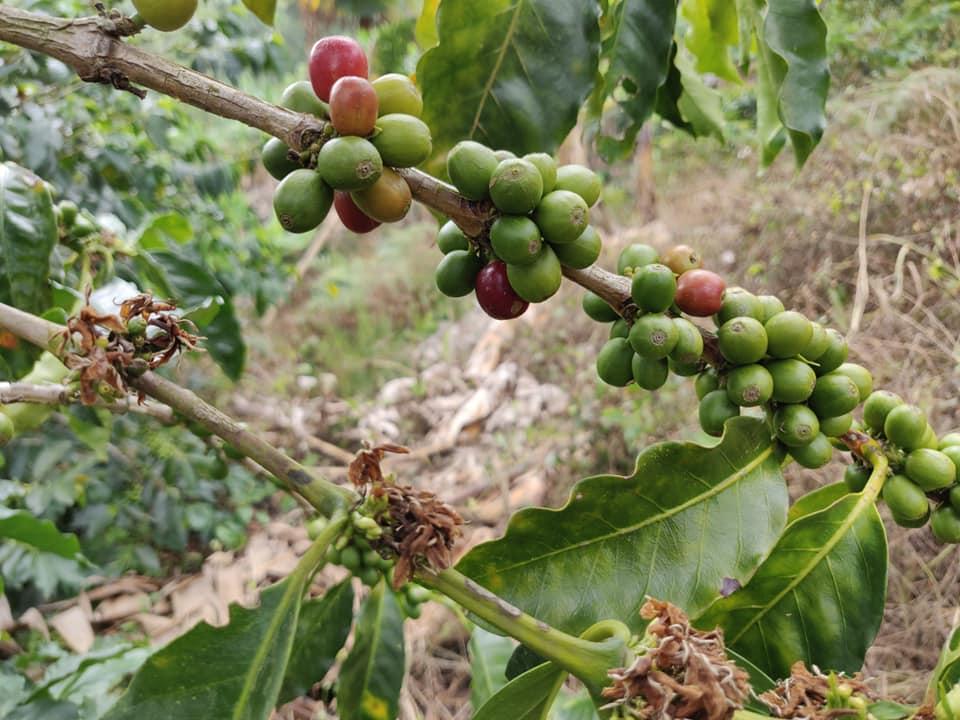 piante di caffè nella finca di don Reinaldo vicino Aguadas