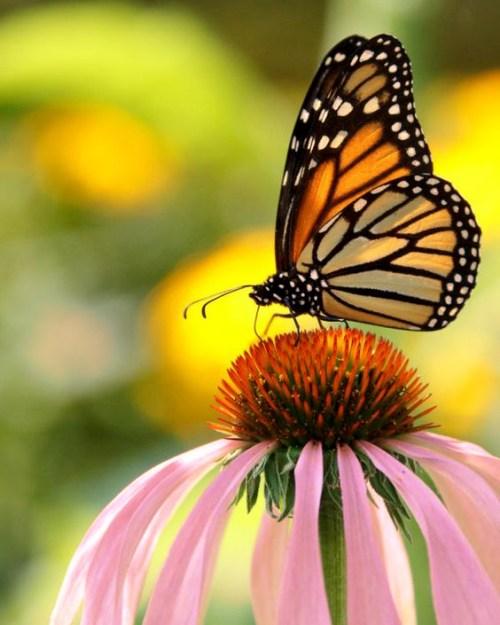 Orange Monarch Butterfly on Pink Echinacea Flower.jpg