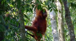 Bukit Lawang Jungle Trekking