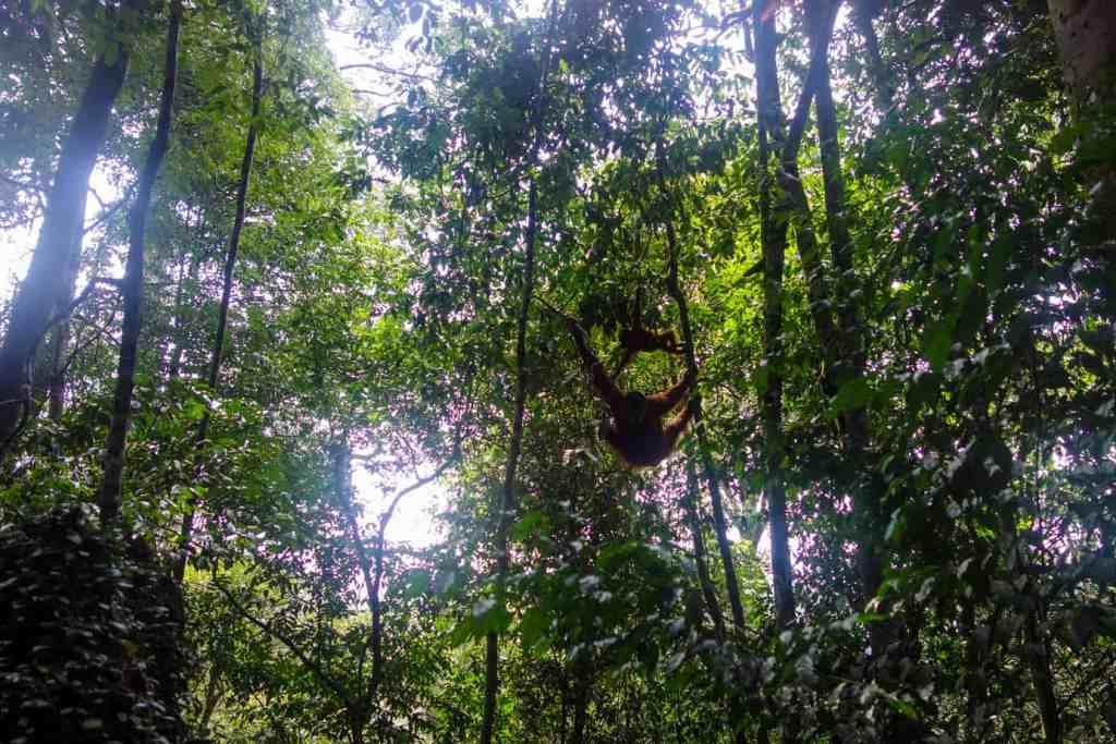 Wild orangutans in Bukit Lawang